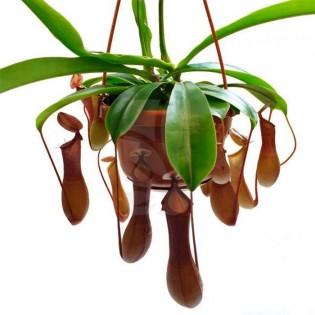 Nepenthes - Plantas jarro