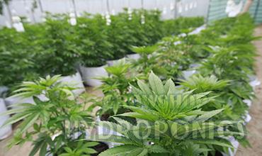 Como cultivar marihuana autofloreciente en interior for Cultivo interior marihuana